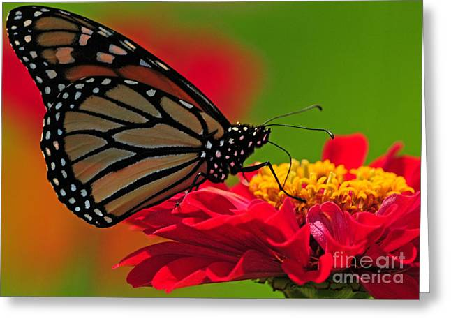 Speckled Monarch Greeting Card by Olivia Hardwicke