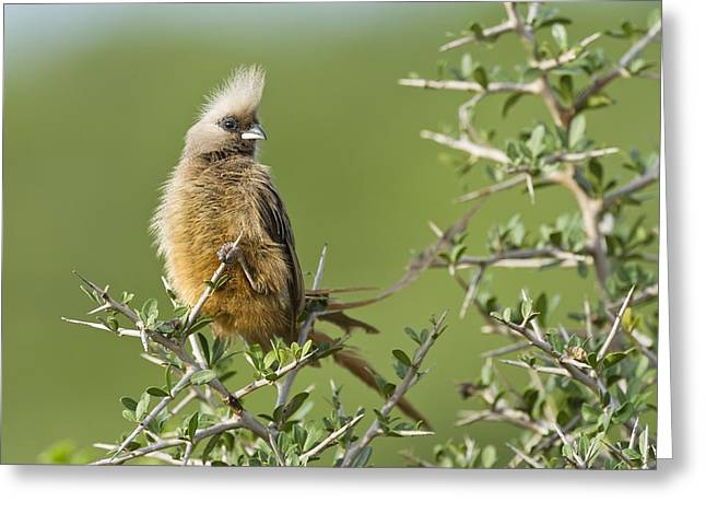 Speckled Mousebird Greeting Card by Science Photo Library