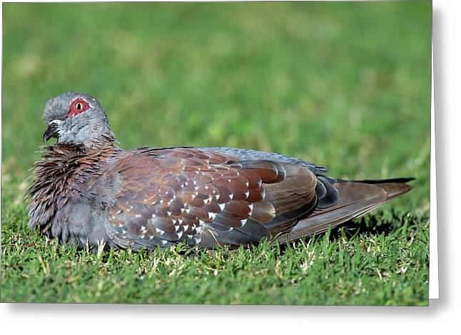 Speckled Pigeon Greeting Card by Peter Chadwick/science Photo Library