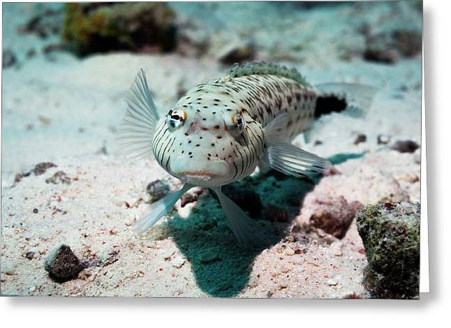 Speckled Sandperch Greeting Card by Georgette Douwma