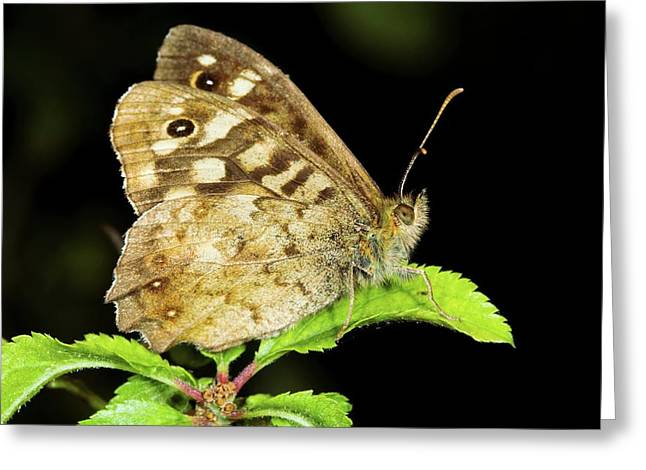 Speckled Wood Butterfly Greeting Card by John Devries/science Photo Library