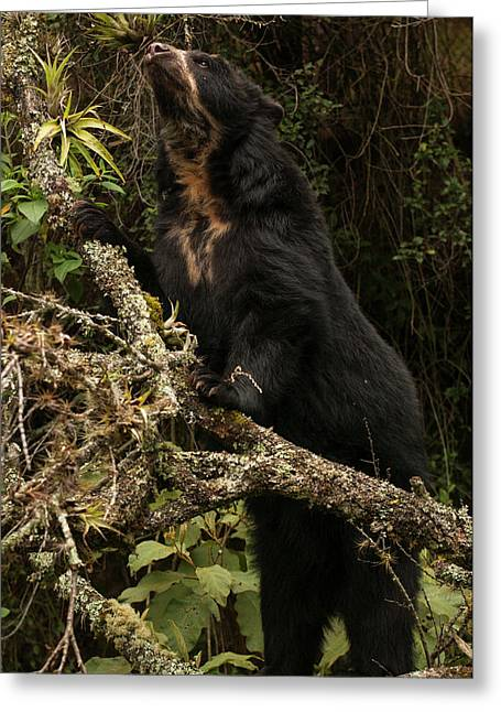 Spectacled Or Andean Bear (tremarctos Greeting Card by Pete Oxford