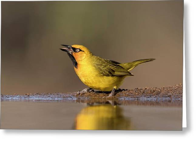 Spectacled Weaver At A Watering Hole Greeting Card