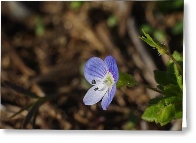 Speedwell Greeting Card by Billy  Griffis Jr