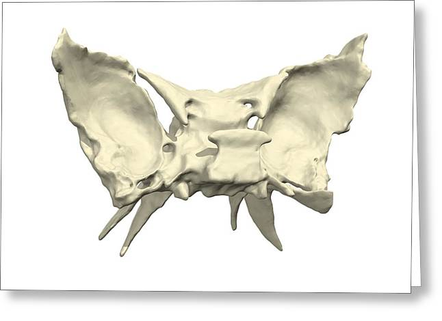 Sphenoid Bone Greeting Card