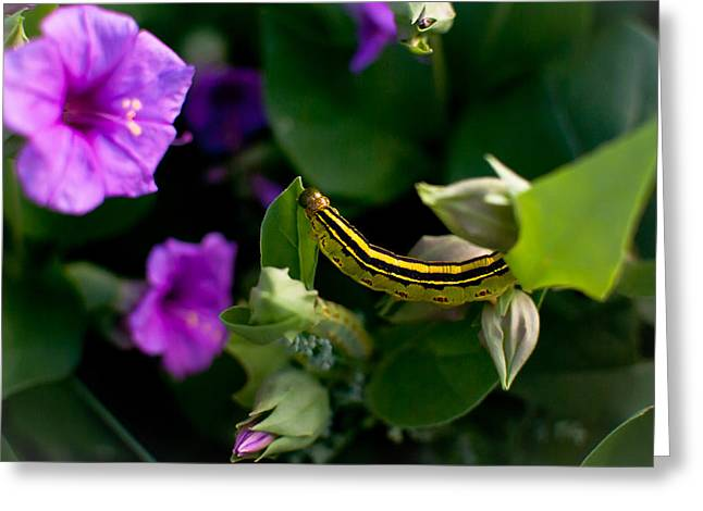 Sphinx Moth Caterpillar Greeting Card by Swift Family