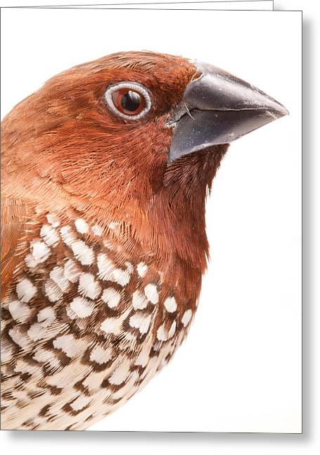 Spice Finch Lonchura Punctulata Portrait Greeting Card by David Kenny