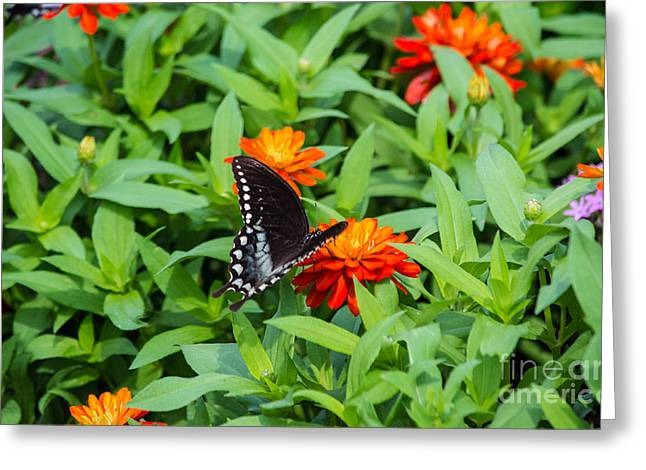 Spicebush Swallowtail Greeting Card