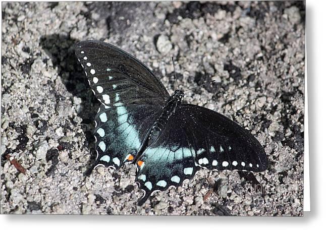 Spicebush Swallowtail IIi Greeting Card by Suzanne Gaff