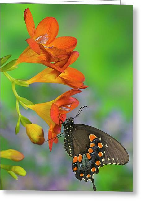 Spicebush Swallowtail, Papilio Troilus Greeting Card by Darrell Gulin