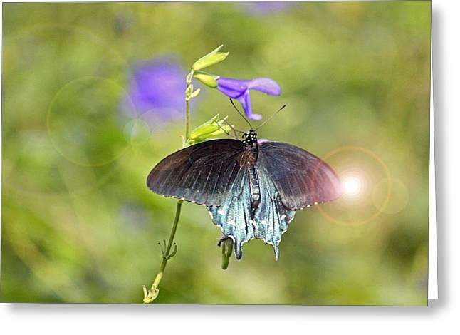 Spicebush Swallowtail Greeting Card by Suzanne Gaff