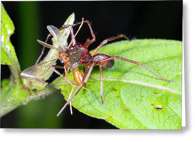 Spider Feeding On A Flying Ant Greeting Card