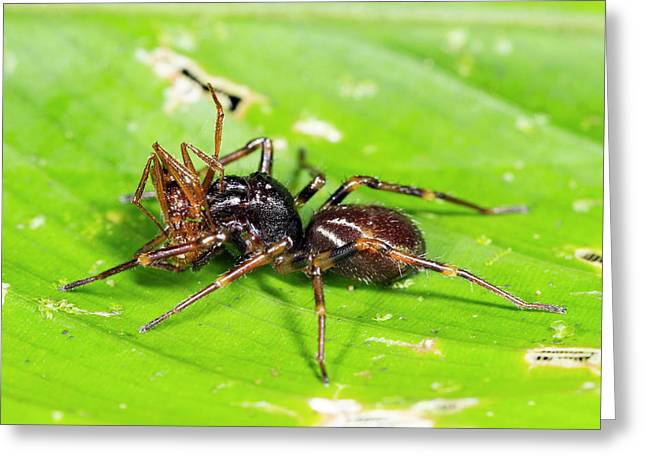 Spider Feeding On An Ant Greeting Card