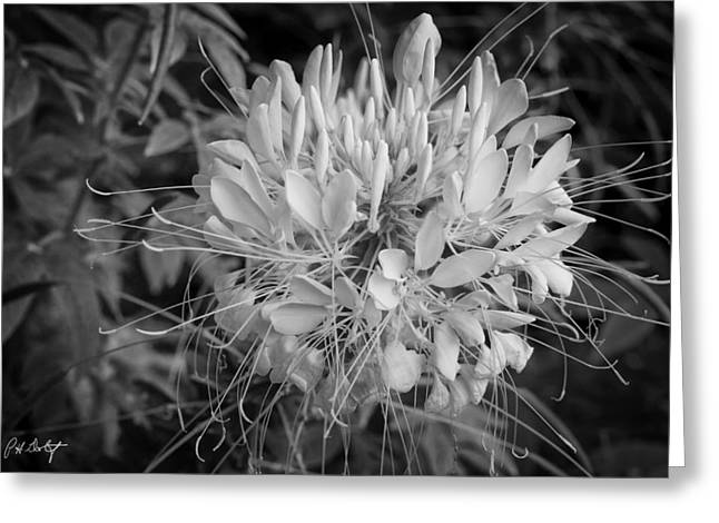 Spider Flower Greeting Card by Phill Doherty