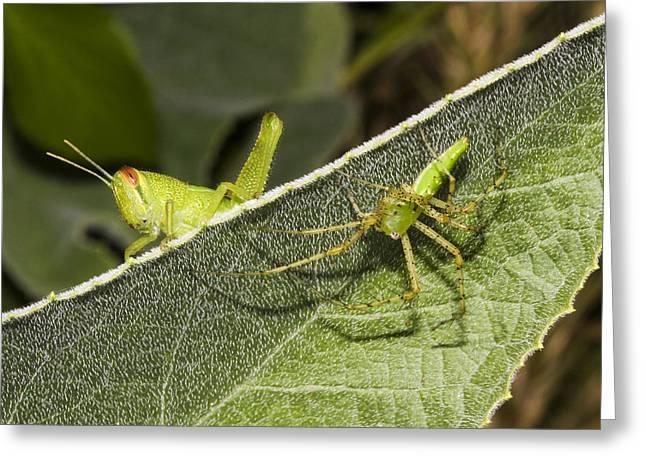 Spider-grasshopper Standoff Greeting Card