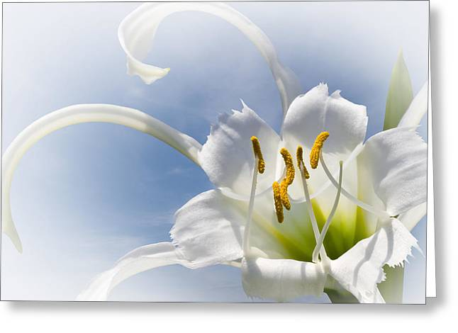 Spider Lily Greeting Card by Jane McIlroy