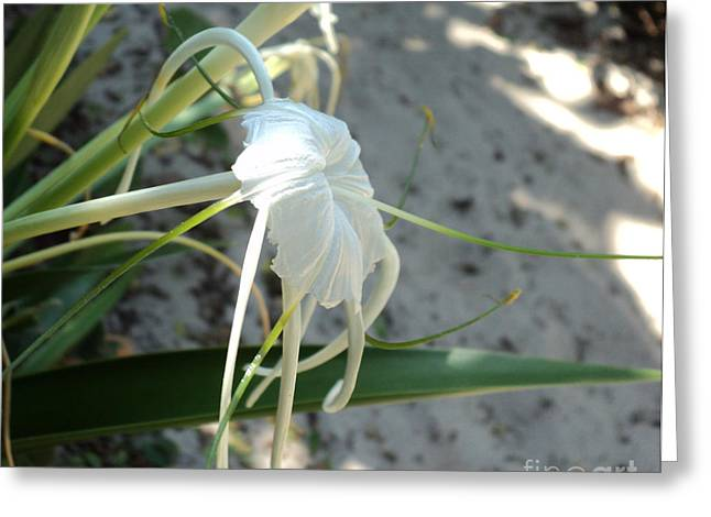 Spider Lily2 Greeting Card