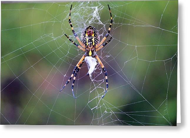 Spider Making His Web Greeting Card by Cynthia Guinn