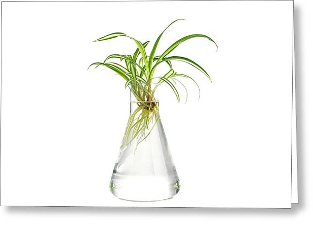 Spider Plant Rooting Greeting Card