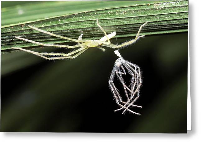 Spider With Shed Skin Greeting Card by Dr Morley Read