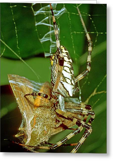 Spider Wrapping Moth Greeting Card