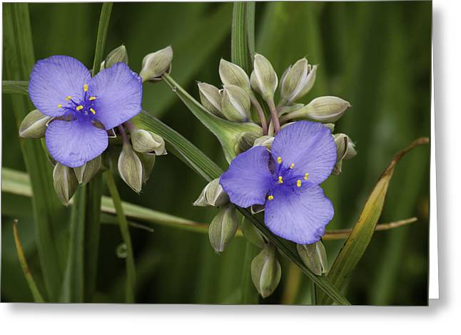 Spiderwort 1 Greeting Card by Thomas Young