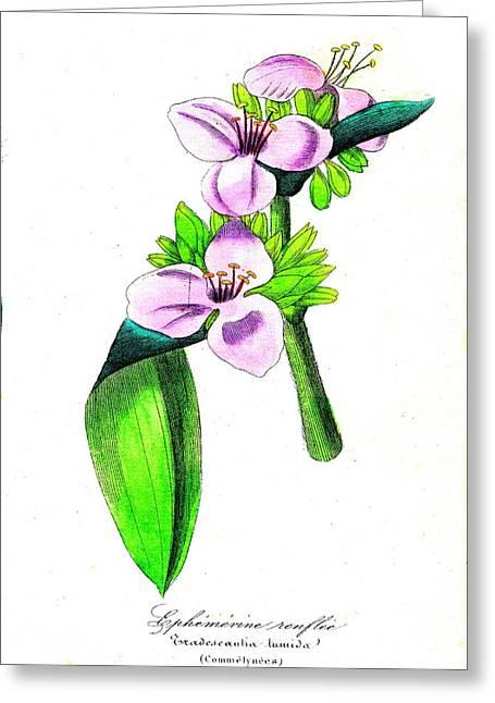 Spiderwort (tradescantia Tumida) Greeting Card