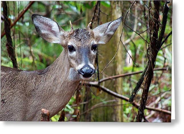 Spike Buck Whitetail Portrait Greeting Card