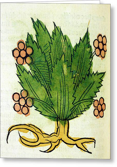 Spikenard Medicinal Plant Greeting Card by National Library Of Medicine