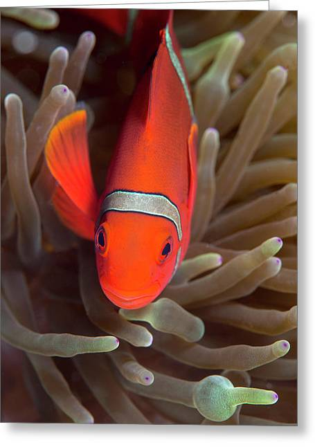 Spinecheek Anemone Fish On Host Anemone Greeting Card