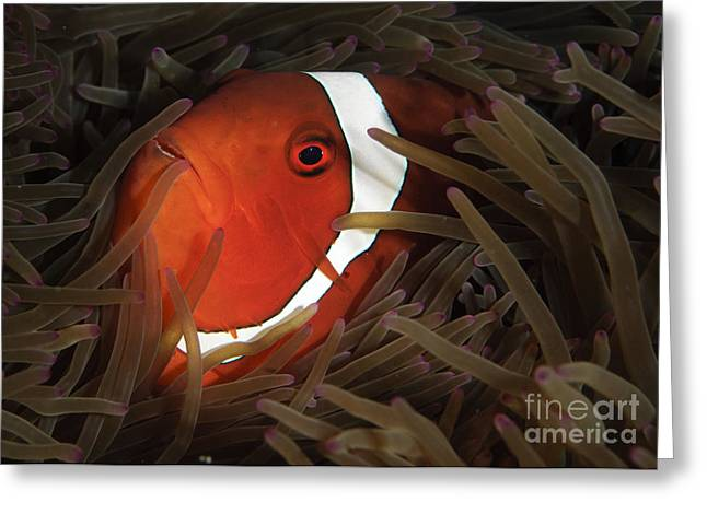 Spinecheek Anemonefish, Gorontalo Greeting Card by Steve Jones
