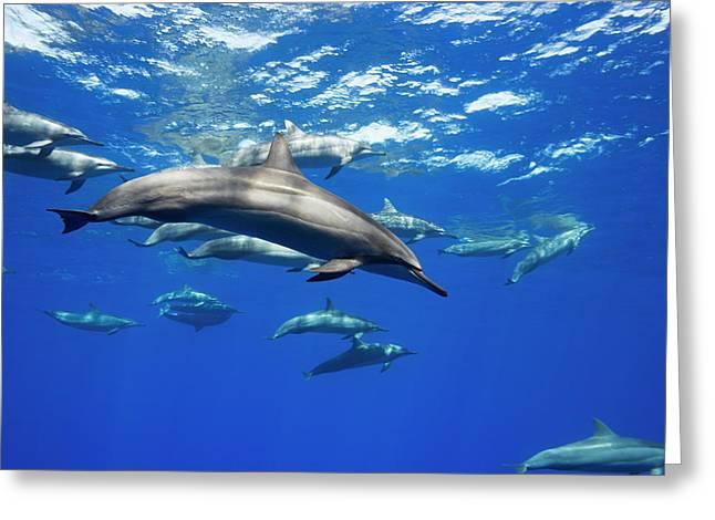 Spinner Dolphin  Stenella Longirostris Greeting Card by Dave Fleetham