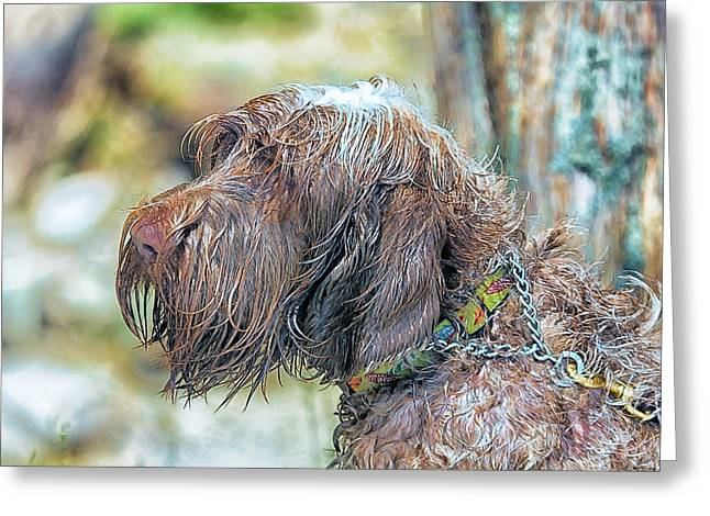Spinone Italiano Italian Wire Haired Pointer Greeting Card