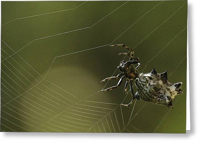 Spiny Backed Orb Weaver Greeting Card by Tom Cameron