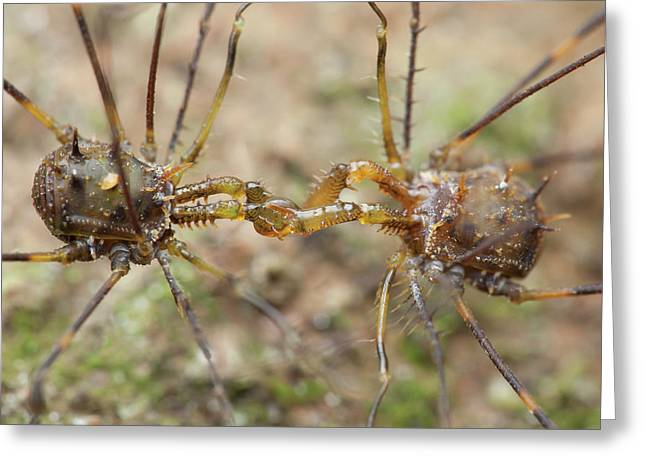 Spiny Harvestmen Fighting Greeting Card by Melvyn Yeo