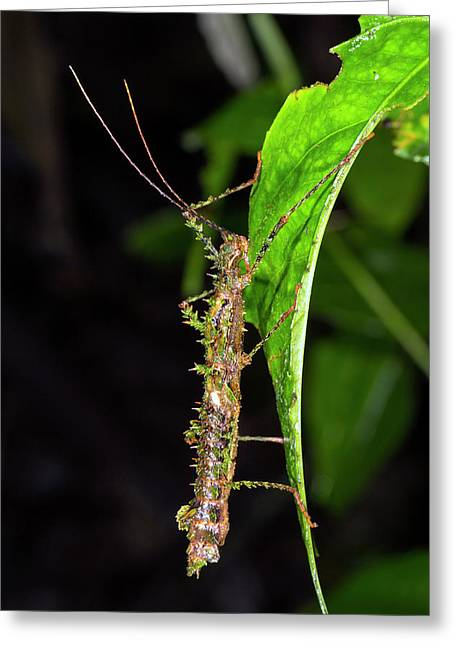 Spiny Moss-mimicking Stick Insect Greeting Card by Dr Morley Read