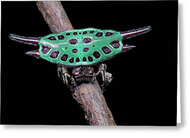 Spiny Orb-weaver Spider Under Uv Light Greeting Card by Melvyn Yeo