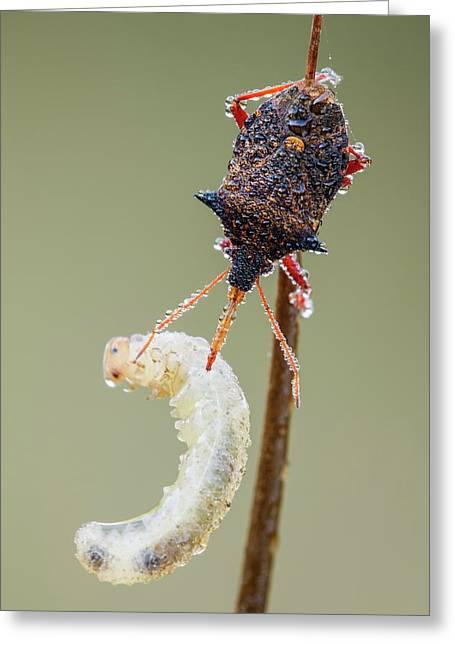 Spiny Shieldbug Feeding Greeting Card by Heath Mcdonald