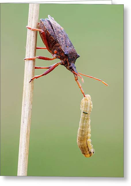 Spiny Shieldbug Greeting Card by Heath Mcdonald