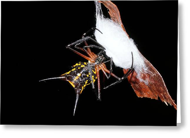 Spiny Spider Wrapping Eggs In Silk Greeting Card
