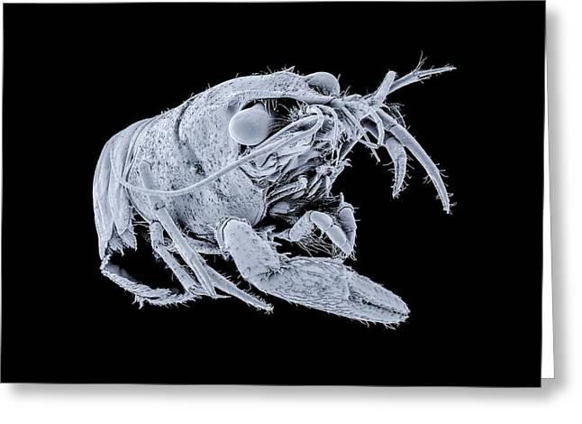 Spinycheek Crayfish Greeting Card