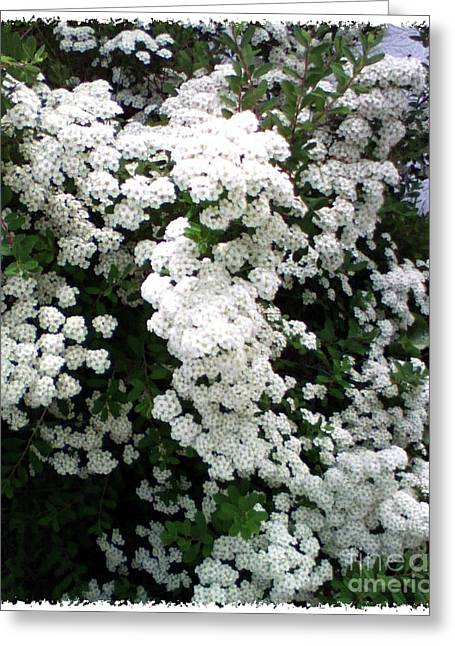 Greeting Card featuring the photograph Spirea Bridal Veil by Barbara Griffin
