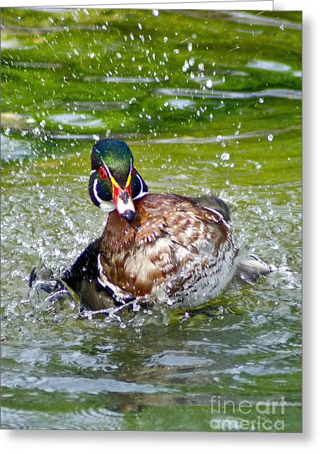 Splashdown - Wood Duck Greeting Card by Adam Olsen