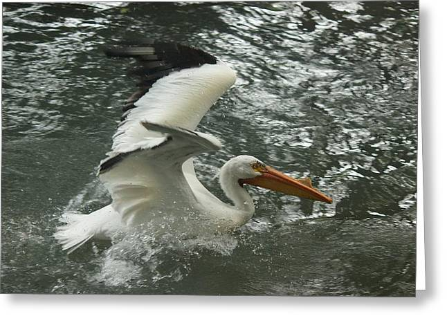 Splashing Pelican Greeting Card by Bonita Hensley
