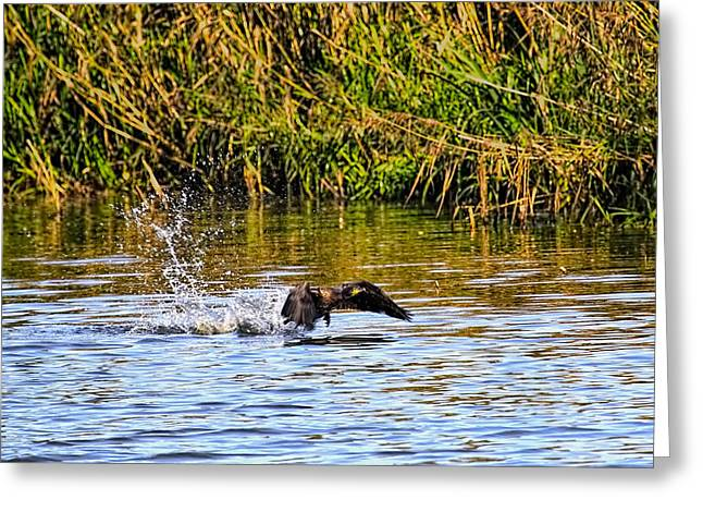 Splashing Start Cormorant Beginning To Fly From Water In Creek Of Enkoeping Enkoping Swe Greeting Card
