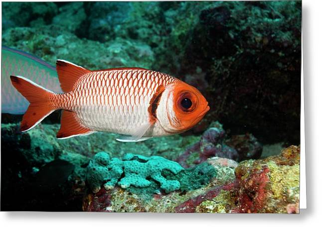 Splendid Soldierfish On A Reef Greeting Card