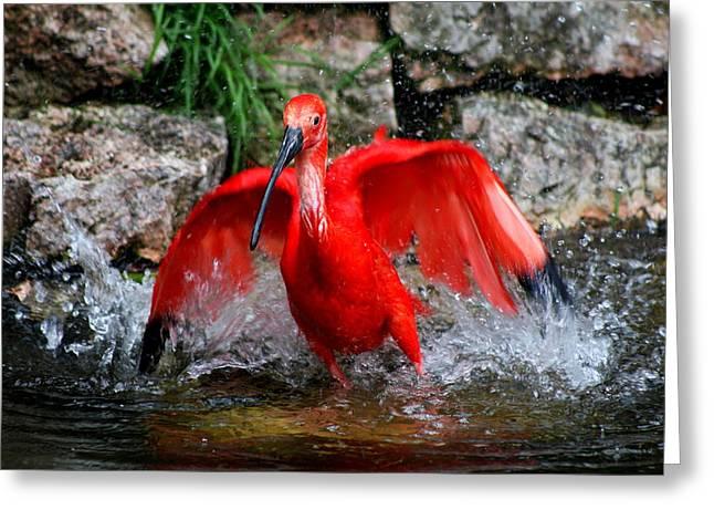 Splish Splash - Red Ibis Greeting Card by Christiane Schulze Art And Photography