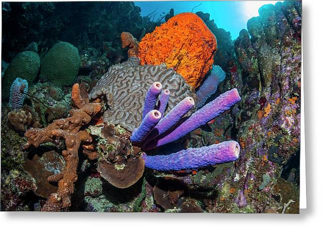 Sponges And Coral On A Reef Greeting Card by Georgette Douwma