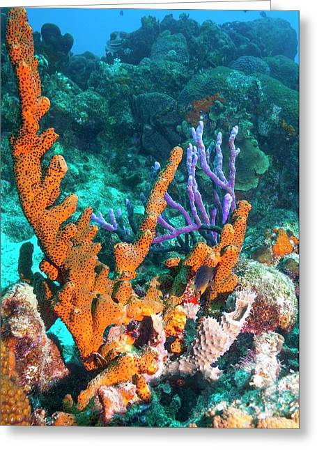Sponges On A Reef Greeting Card by Georgette Douwma