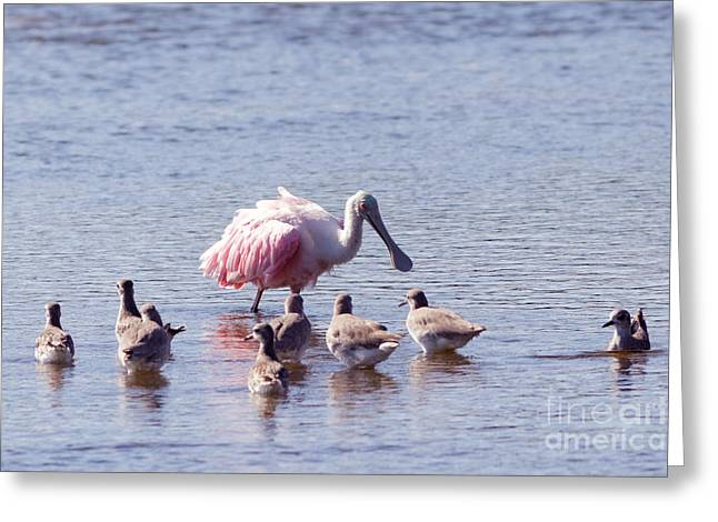 Spoonbill And Willets Greeting Card